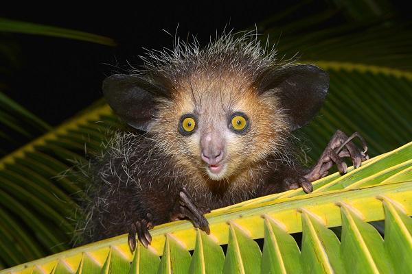 Aye-aye (Daubentonia madagascariensis) on a palm frond, Masoala Peninsula, Madagascar, Africa