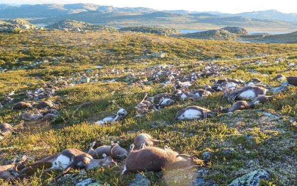 323 reindeer dead