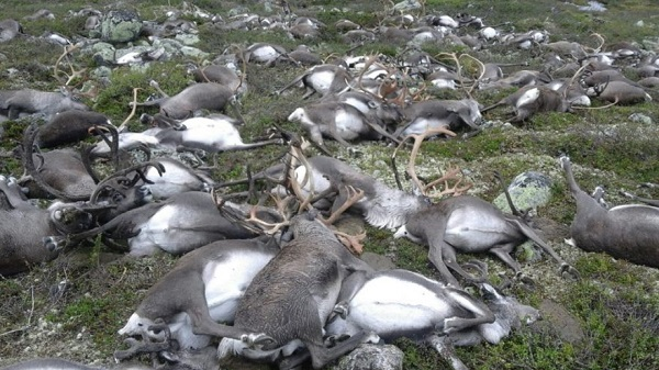 dead deer in Norway