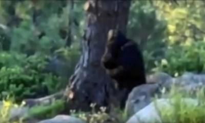 Bigfoot and baby running away