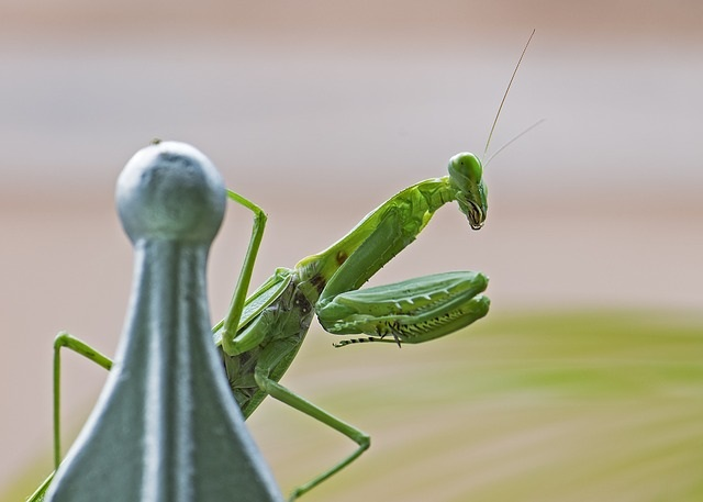 Preying Mantis insect