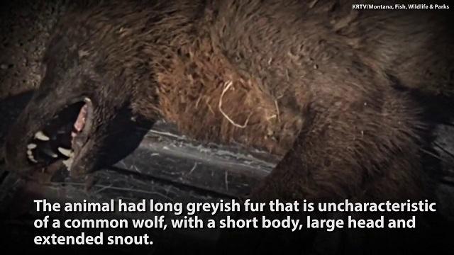 Strange Wolf-Life Creature Killed Montana