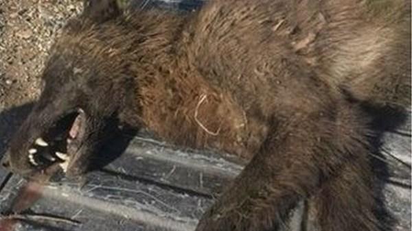 Strange Wolf-Life Creature Shot and Killed