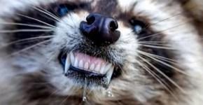 Zombie Raccoons in Ohio