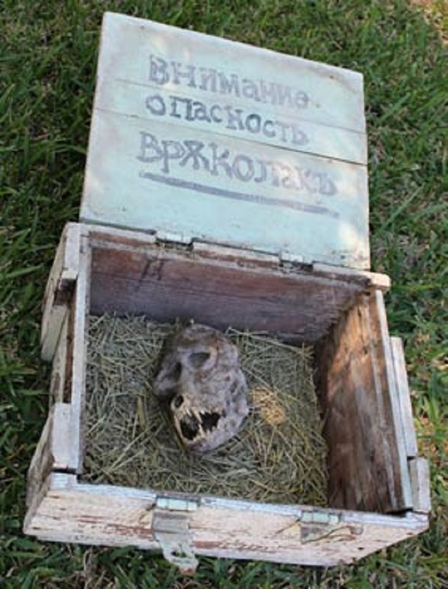 Werewolf skull in box Bulgaria