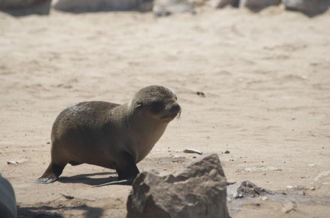 Zeeleeuw in Namibië