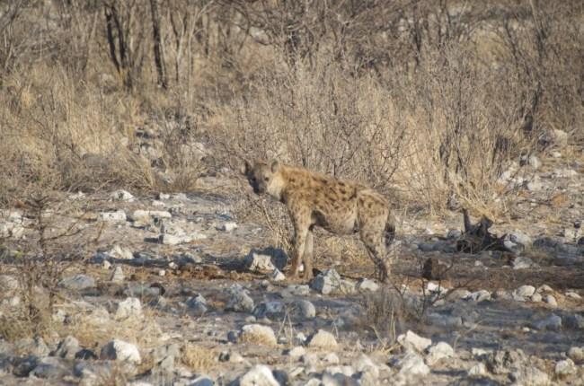 Hyena in Etosha National Park