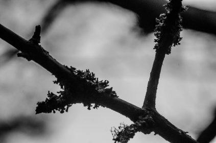 Noorse flora boommos op takken