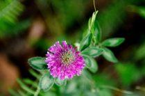 Noorse flora paarse bloem