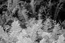 Noorse flora varens zwart wit