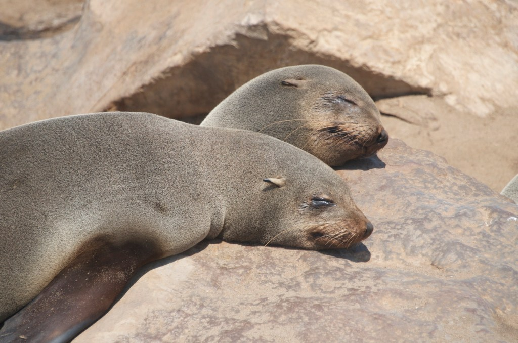 Seals at skeleton coast