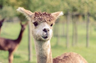 WandelWalhalla-Alpaca close up