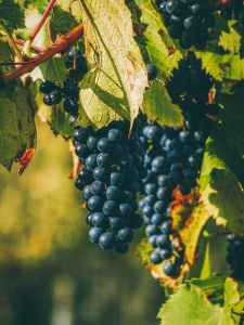 photo of grapevine