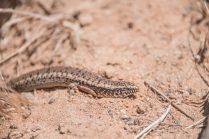 Malta wildlife lizard
