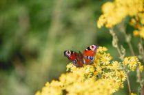 Vlinders - Web-16