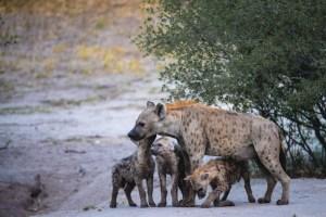 A cute hyena family