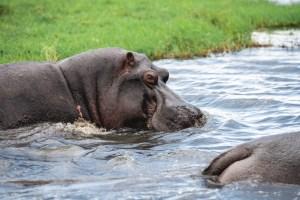 Hippo's in the Chobe river