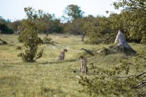 My first cheetahs in Botswana