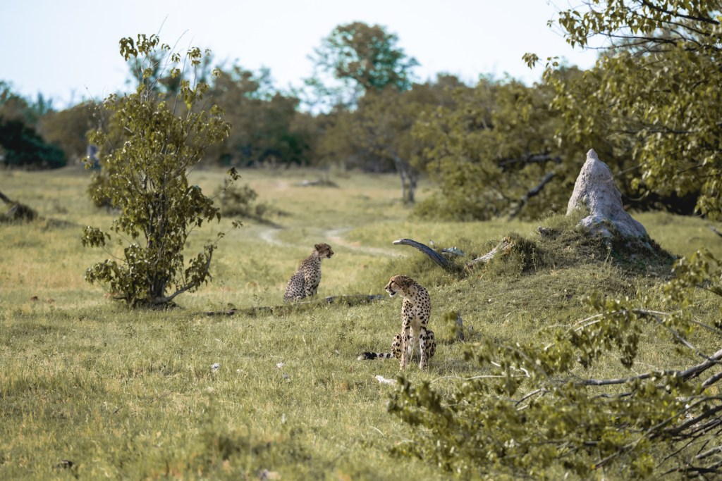 My first cheetahs in Botswana