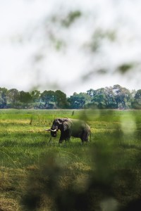 Watching an elephant from closeby in Okavango Delta