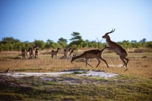 red lechwe mating in botswana