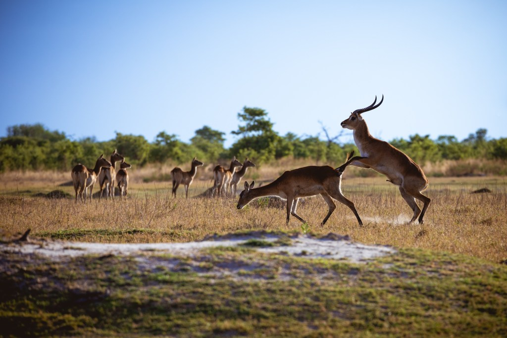 red lechwe mating in botswana