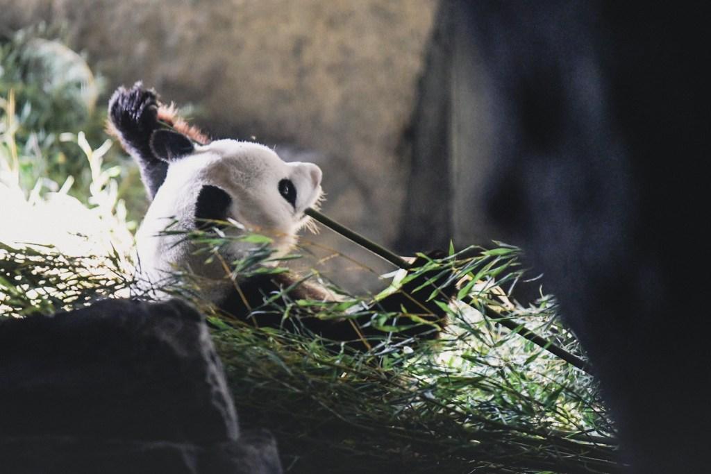 first time Panda in Pairi Daiza