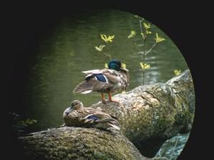 Ducks-with-the-Swavorksi-Optiks-binocular