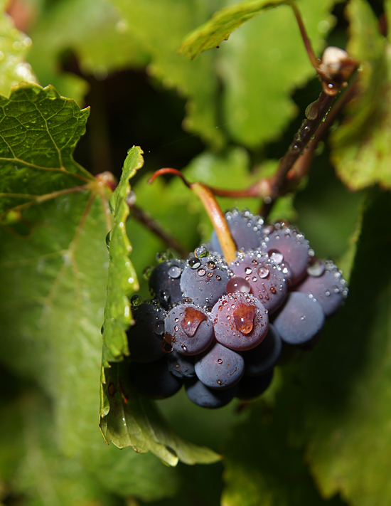 What is Carbonic Maceration? – Wine 101
