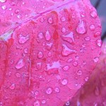Pink Leaves with Dew Drops