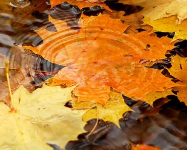Autumn Yellow Maple Leaves On The River