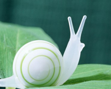 White Snail On The Green Leaf
