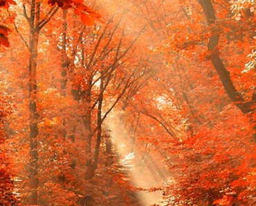 Maple Forest Under The Sunlight