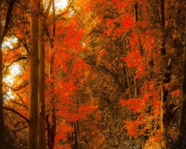Red Maple Forest Autumn