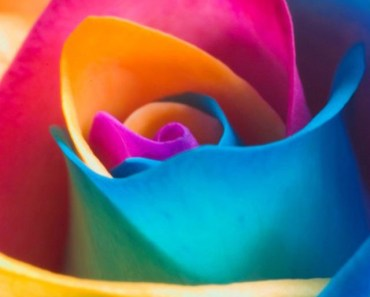 Colorful Rainbow Rose