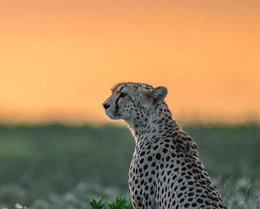 Wild Cheetah Alone