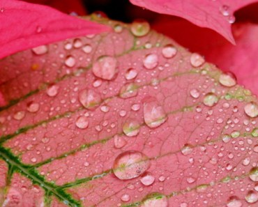 Dew Drops On Pink Leaves