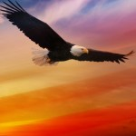 American Bald Eagle For Independence Day