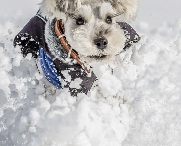 Schnauzer In The Snow