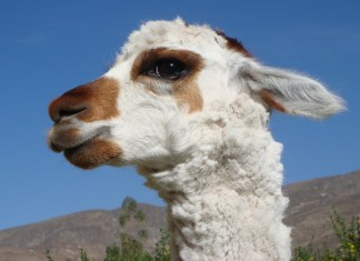 Woman Arrested For Animal Cruelty After Shooting Her Pet Llama