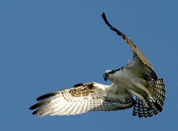 Osprey Drops Fish On Field During Jacksonville University Baseball Game