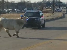 Police Follow Cow Through Traffic As It Heads Toward Chick-Fil-A