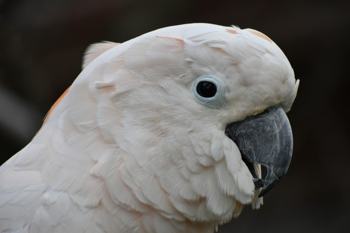 Cockatoo? More Like ROCKatoo! This Bird Knows How To Party