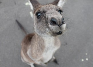 Paraglider Pulls Ultimate Power Move, Punches Kangaroo Promptly Upon Landing
