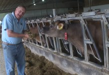 Successful Iowa Farmer Feeds Cows This Utterly Strange Ingredient