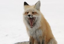 What Does The Fox Really Say? Turns Out It's Terrifying