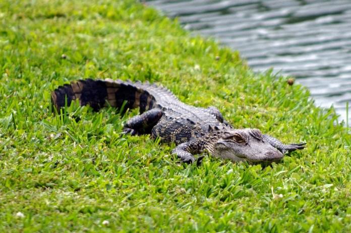 Alligator Crashes Florida Couple's Picnic Date