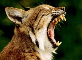 Man Attacked By Bobcat Retells The Horrific Story