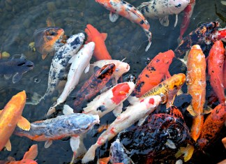 Home Security Camera Catches Cook Stealing Koi Fish From Pond