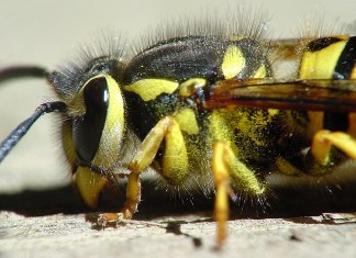 Alabamans Beware: Yellow Jackets Are Building 'Super Nests'